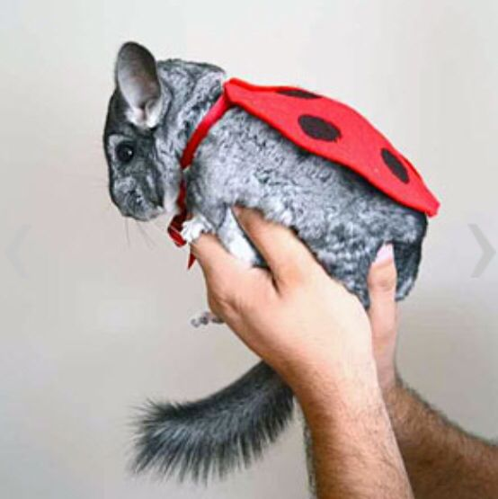 Adorable Chinchilla Apparel Chinchilla Pet Pet Halloween Costumes Pet Costumes