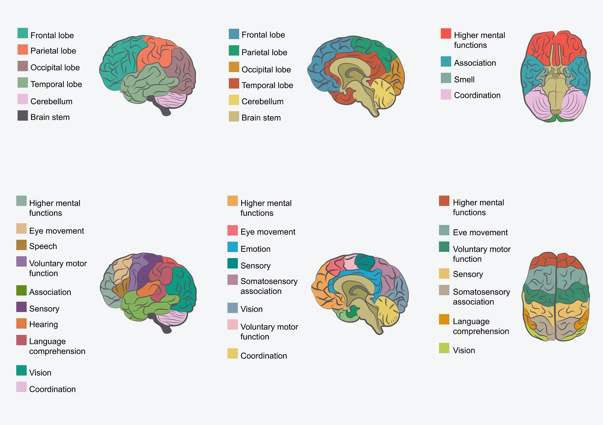 Functions of Brain Regions | Brain anatomy, Human brain ...