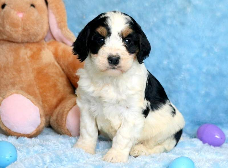 Springerdoodle Puppy For Sale In Mount Joy Pa Adn 68148 On Puppyfinder Com Gender Male Age 7 Weeks Old Puppies For Sale Puppies Mount Joy