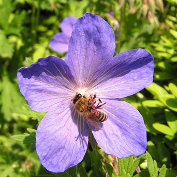 geranium vivace johnson 39 s blue jardin vivaces pinterest g raniums bleu et ps. Black Bedroom Furniture Sets. Home Design Ideas