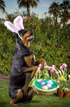 Rottweiler wearing bunny ears. - Tony Blei