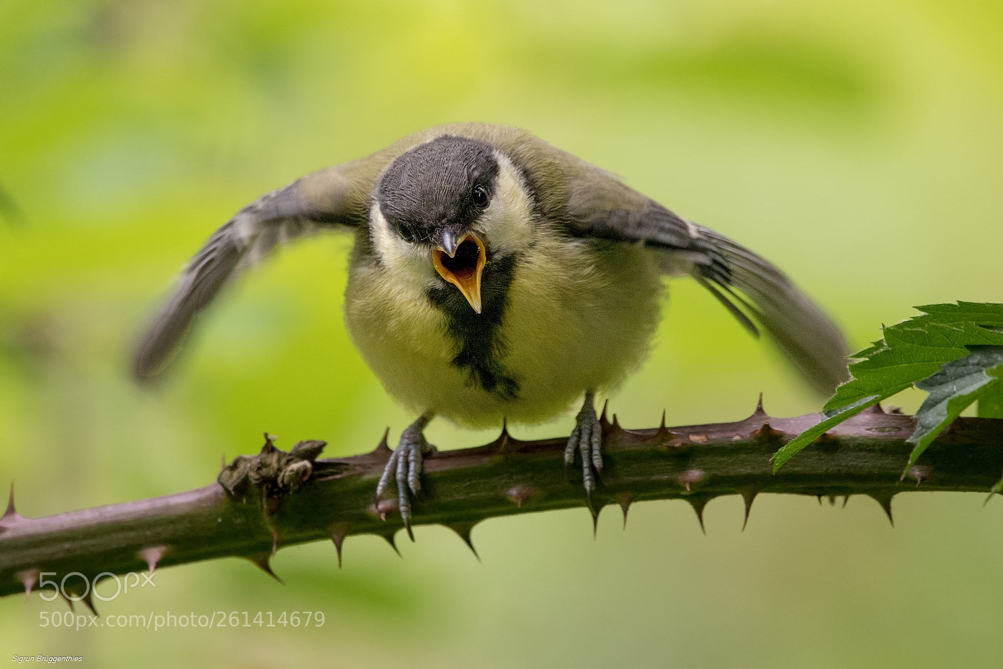 Kohlmeise Winter Kohlmeise Great Tit Hunger By Sigrunbrueggenthies 500px Great