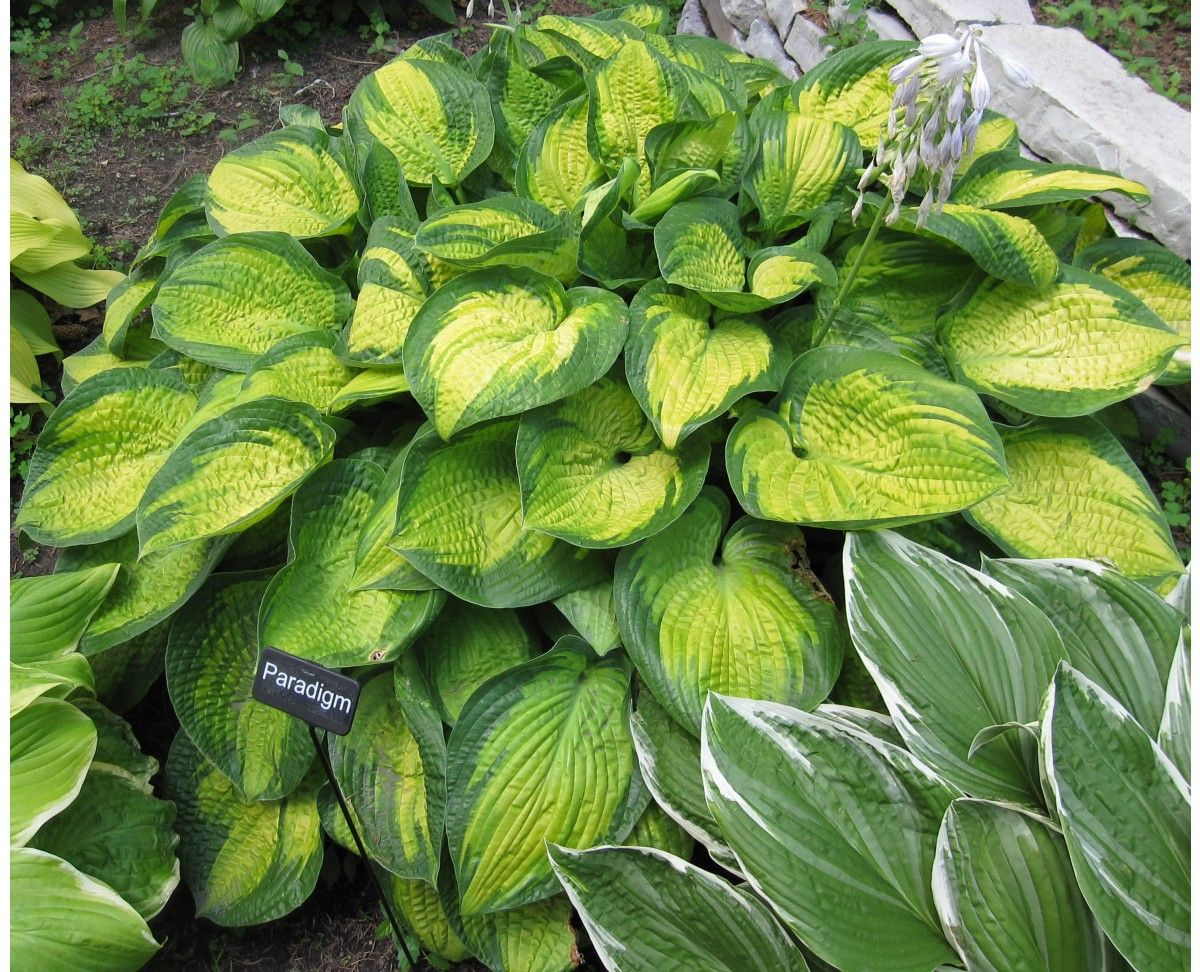 Hostas For Sale >> Hosta Paradigm Hostas Direct Full Sun