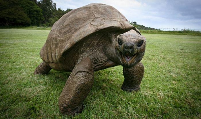 A sus 182 años la tortuga Jonathan es el animal terrestre más viejo del mundo. - Política y Sociedad