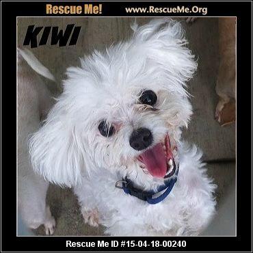 Maltese Rescue California Puppy Adoption Pet Adoption Maltese