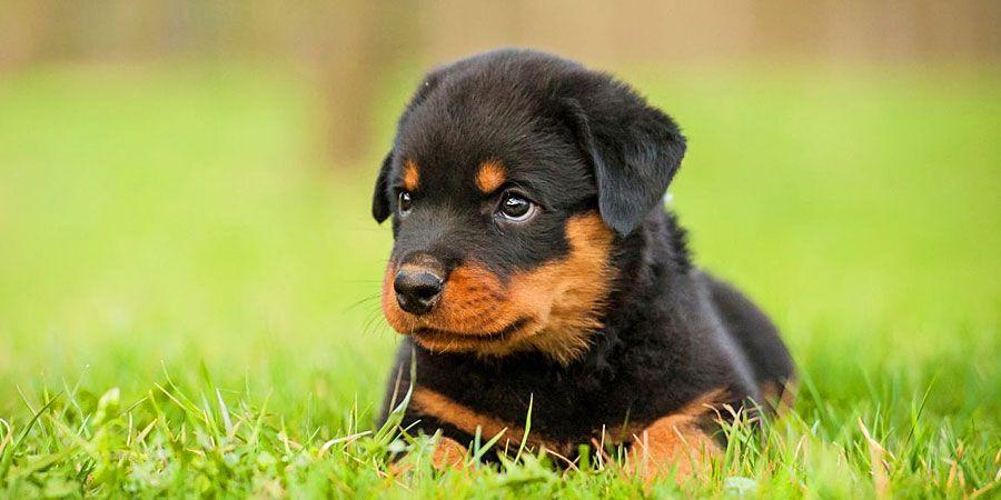 Rottweiler Price Temperament Life Span Rottweiler Puppies