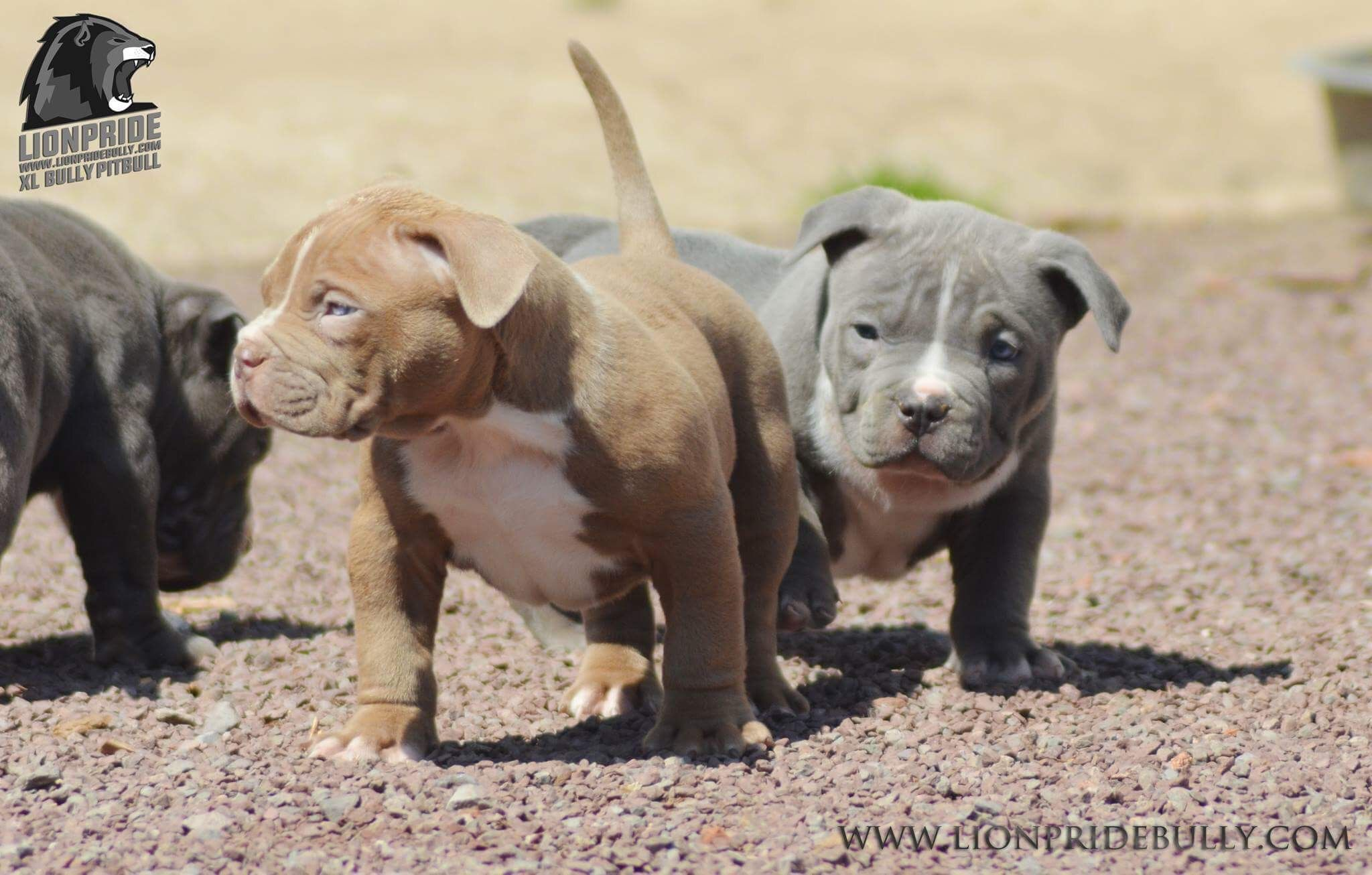 Chiot Puppy Puppies American Bully Giant Xl Xxl Bully Pitbull A
