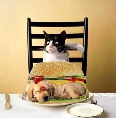 fancy cat  funny cats fancy cats cats