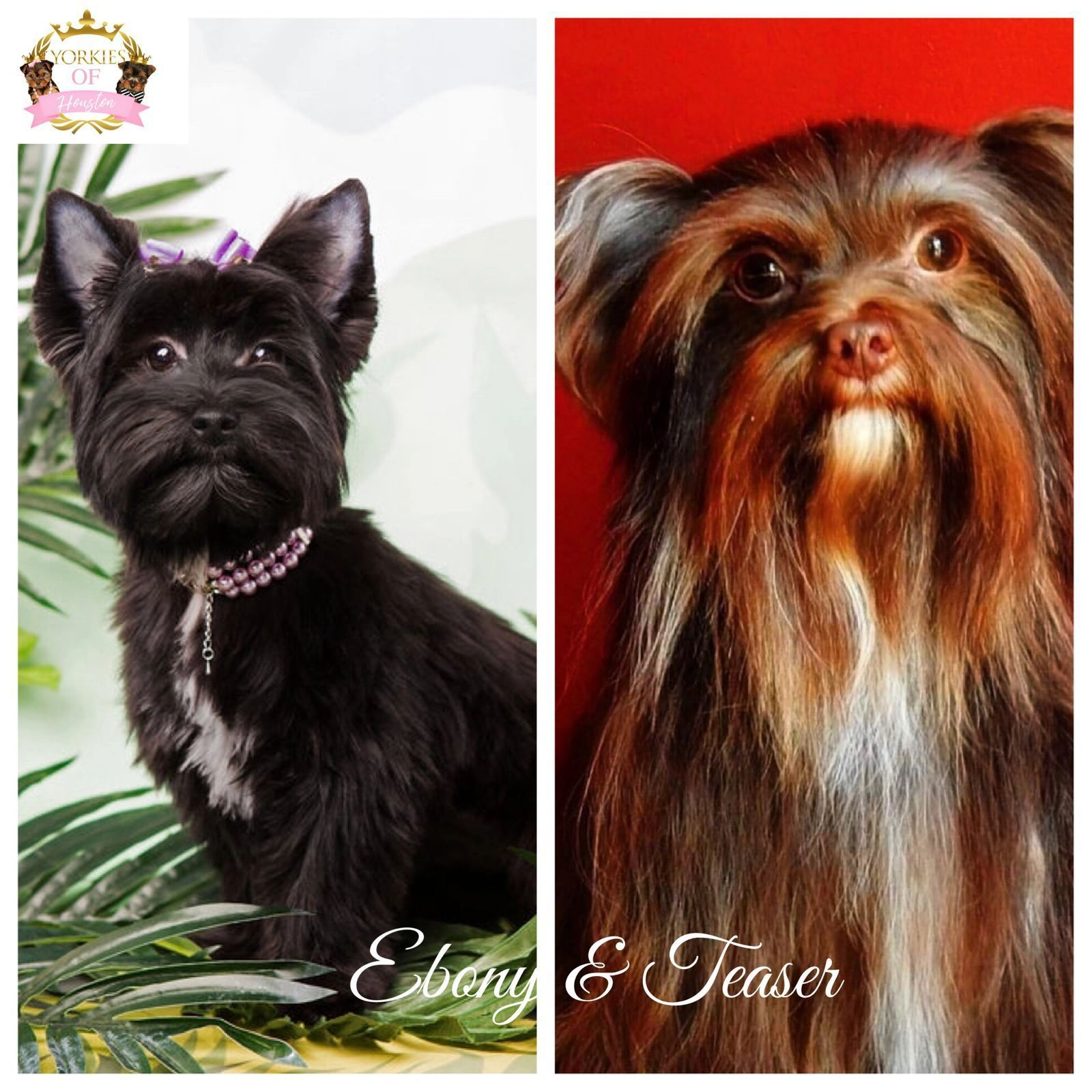 Available Yorkie Puppies Yorkie Puppy Cute Teacup Puppies Yorkie