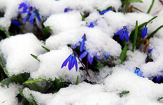 Flowers in the Snow. Blumen im Schnee. https://www.l-seifert.de/bilder-blumen/April-April.html
