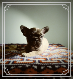 French Bulldog puppy for sale in MINNEAPOLIS, MN. ADN