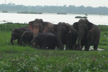 After A Swm Assam Elephant Images Northeast India Elephant