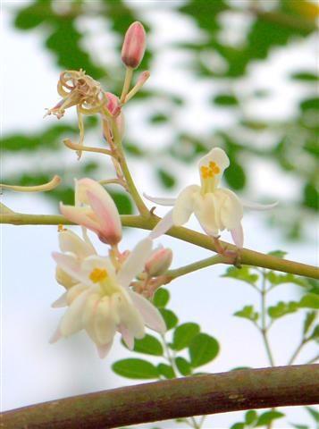 Moringa Moringa Flowers Moringa Benefits