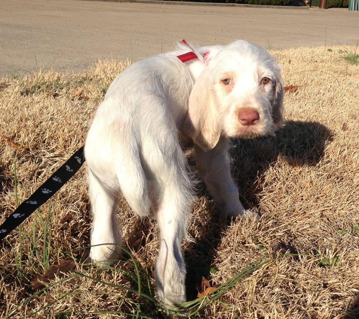 Image of italian spinone brown roan young puppy blue sitting cute - Italian Spinone Puppy 8 Weeks