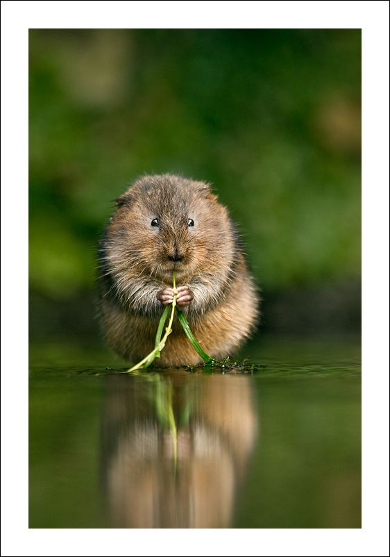 "Animal Portraits By British Wildlife Photographer George: ""A Fantastic Pic Of A Water Vole"" -- Me: Jules Cox"