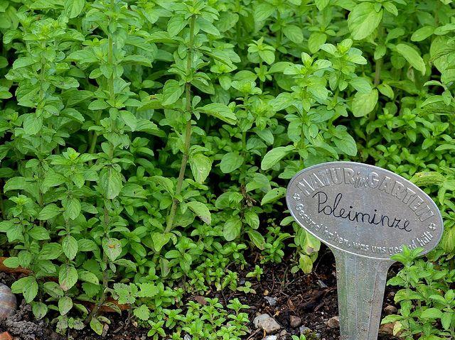 poleo-menta:propiedades medicinales. | hierbas, especias, plantas