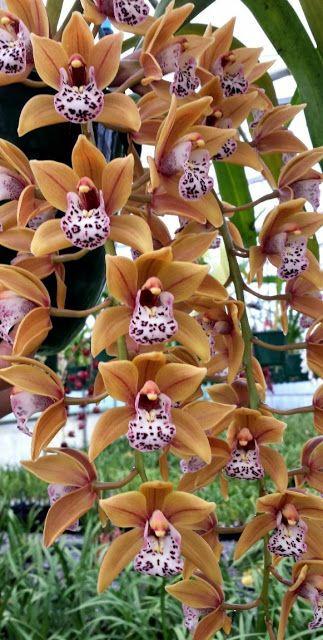 Pin On My Cymbidium Orchids