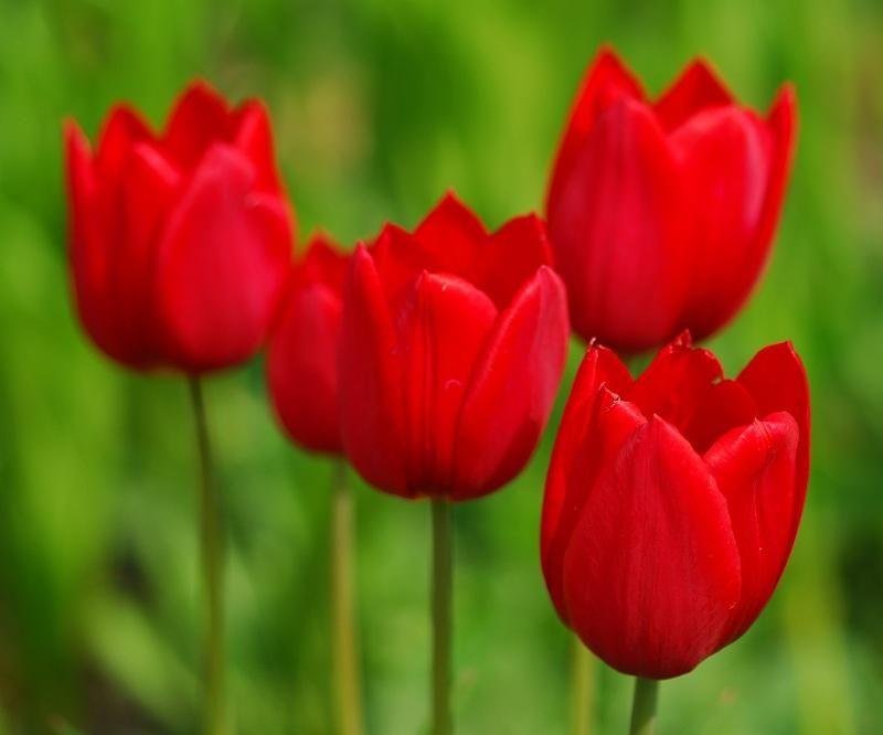 Conoce el #significado de las flores: TULIPÁN El tulipán es el ...