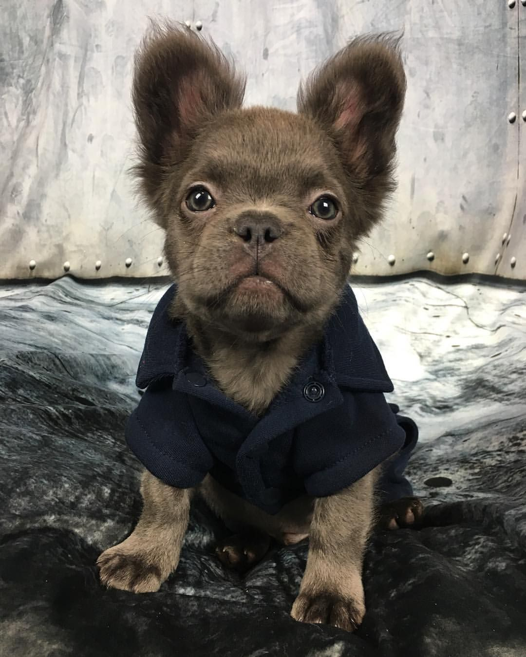 long haired french bulldog for sale – bulldog lover