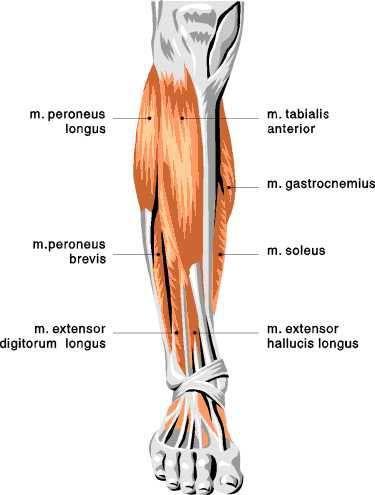 Lower Leg Muscles Changingshape Com Lower Leg Muscles Front Leg Muscle Muscle Diagram