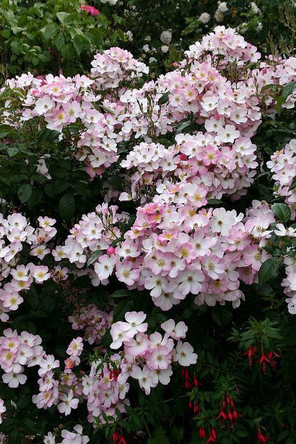 Rosa 'Lyda' - a thornless, honey scented shrub rose
