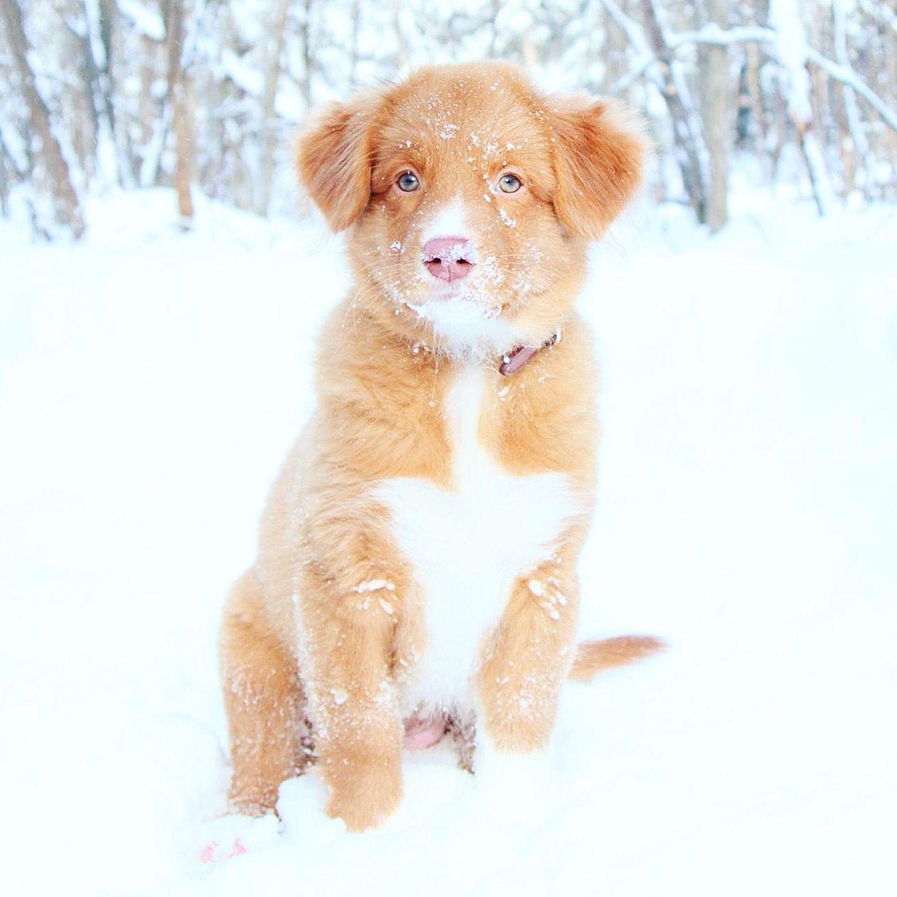 Roxy Nova Scotia Duck Tolling Retriever Puppy Winter Snow Retriever Puppy Winter Puppy Nova Scotia Duck Tolling