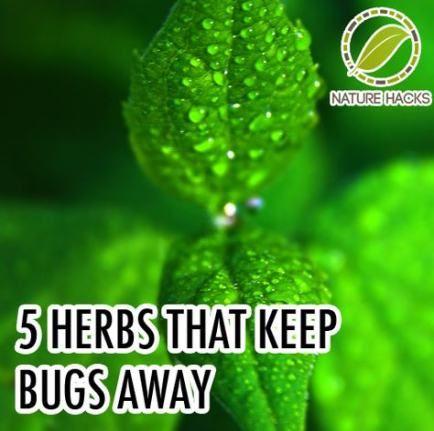 Best Plants That Repel Mosquitos Leaves 15 Ideas #plantsthatrepelmosquitoes