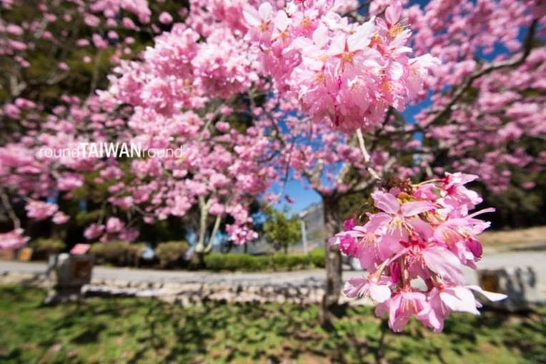 Pin By Flowers In Heart On Cherry Blossoms Cherry Blossom Taiwan 10 Things