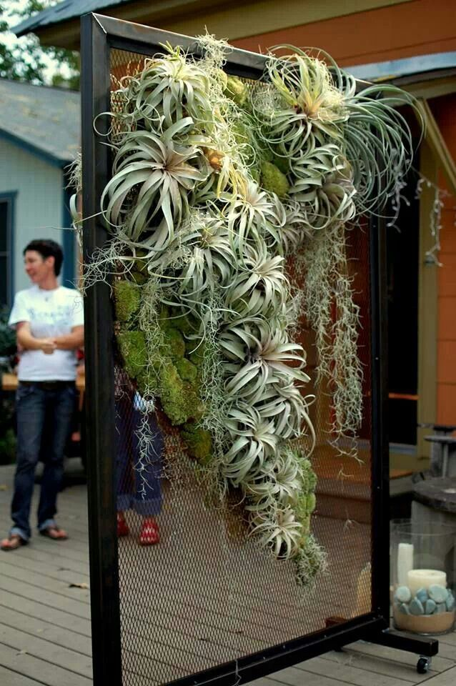 Hanging air plant wall.