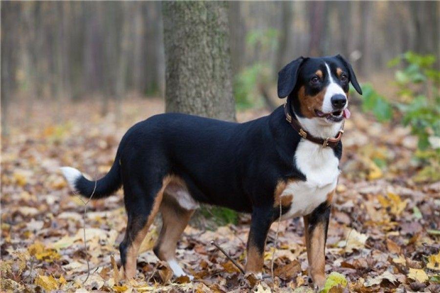Pin Von S Auf Hunde Dogs Appenzeller Hund Hunde Havanna