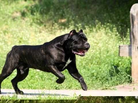 I Am S Gunasundari Cane Weaver Cane Corso Corso Dog Mastiff Breeds