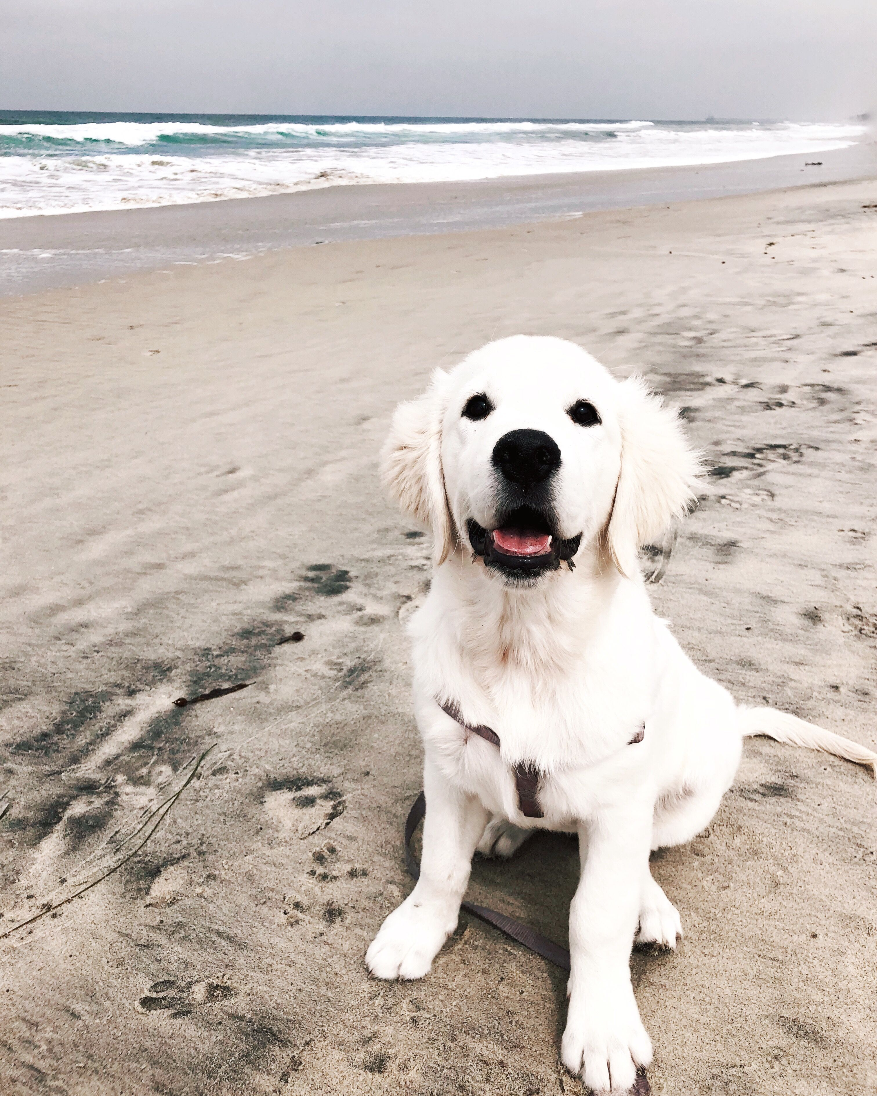 English Cream Golden Retriever Puppy On The Beach Golden