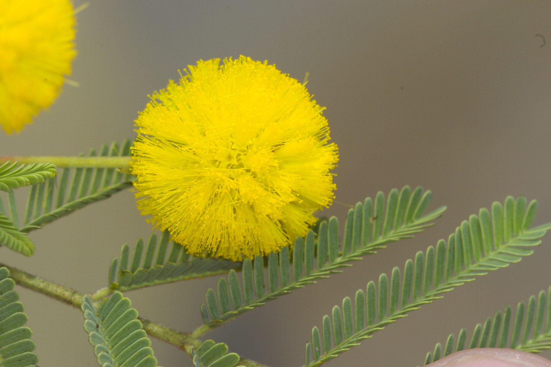 Acacia Nilotica Yellow Flower And Leaves Australian Wildflowers Flowers Yellow Flowers