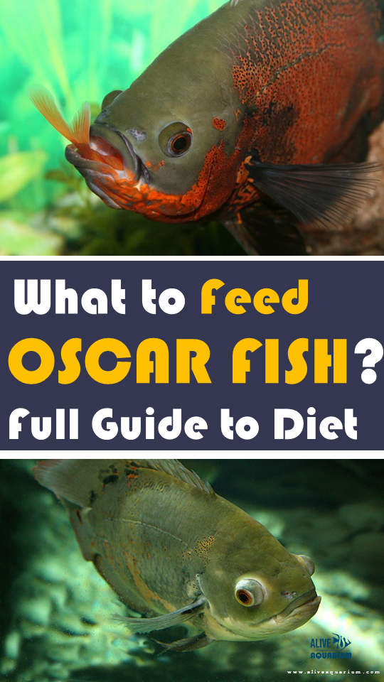What To Feed The Oscar Fish Oscar Fish Oscar Fish Food Fish