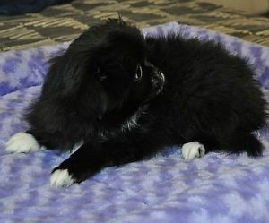 Pomeranian Japanese Chin Black And White Puppies Edmonton Edmonton