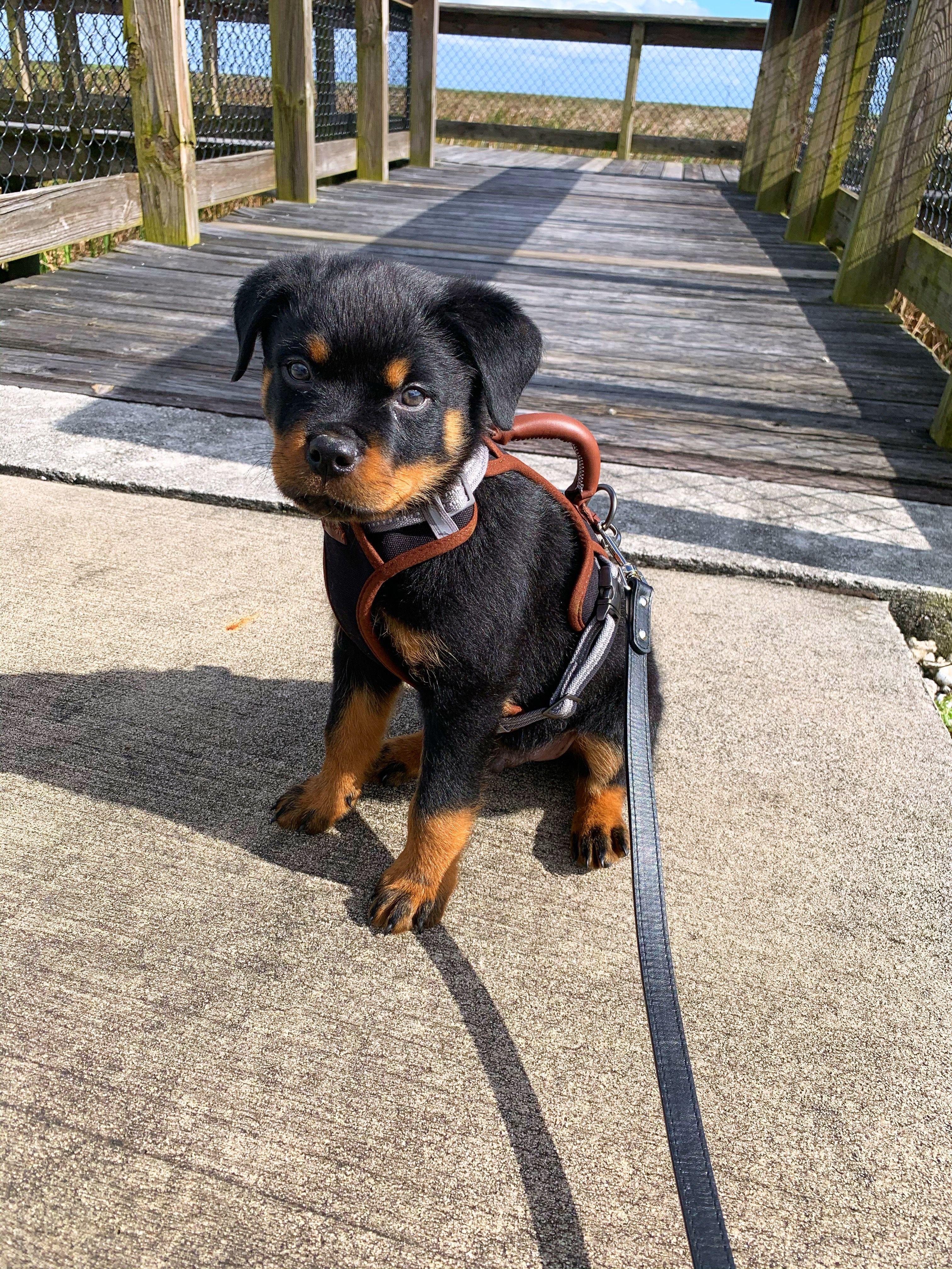 Cutest Rottweiler Puppies 🥰 Rottweiler puppies for sale