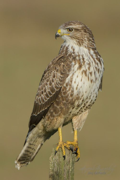 The Common Buzzard - Buteo buteo, is a broad-winged raptor which has a wide variety of plumages, whose range covers most of Europe and extends into Asia. Photo by Jorg Gerhards.