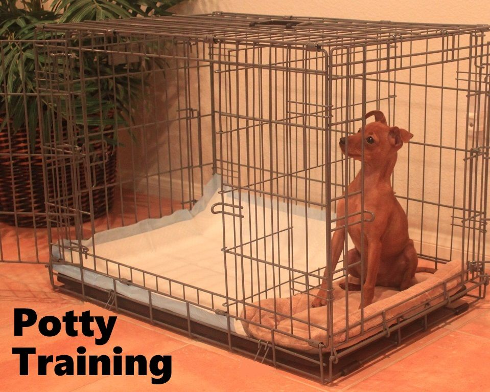 Miniature Pinscher Puppies How To Potty Train A Miniature Pinscher Puppy Miniature Pinscher Puppy Training Dog Potty Training Potty Training Puppy Apartment