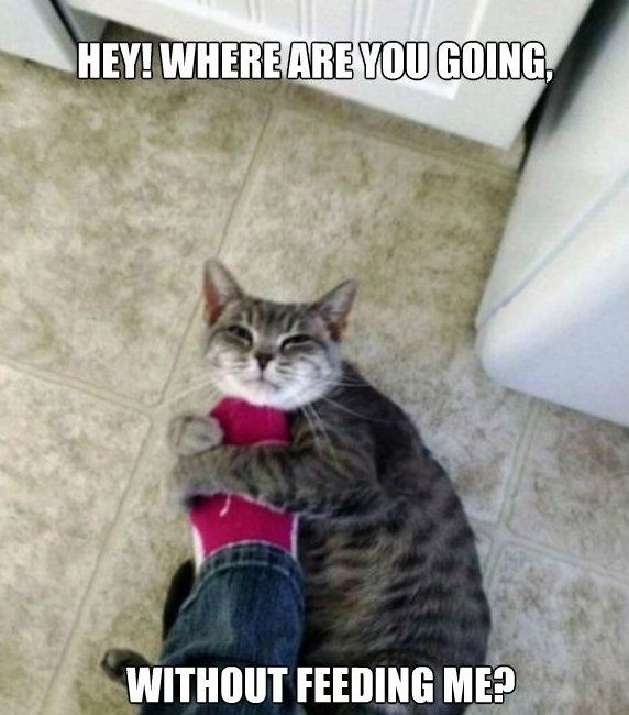33cff91cd8a3b2bc97f4691bcfb987b5 hungry cat www meme lol com animal laughs pinterest meme