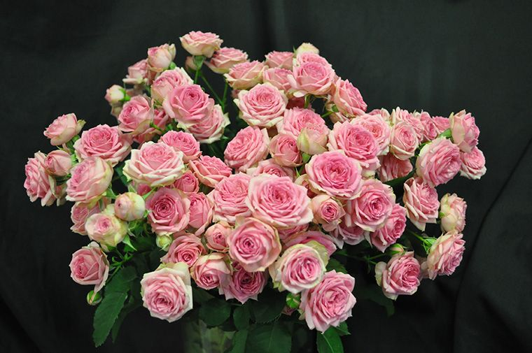 Super Sensation Spray Rose