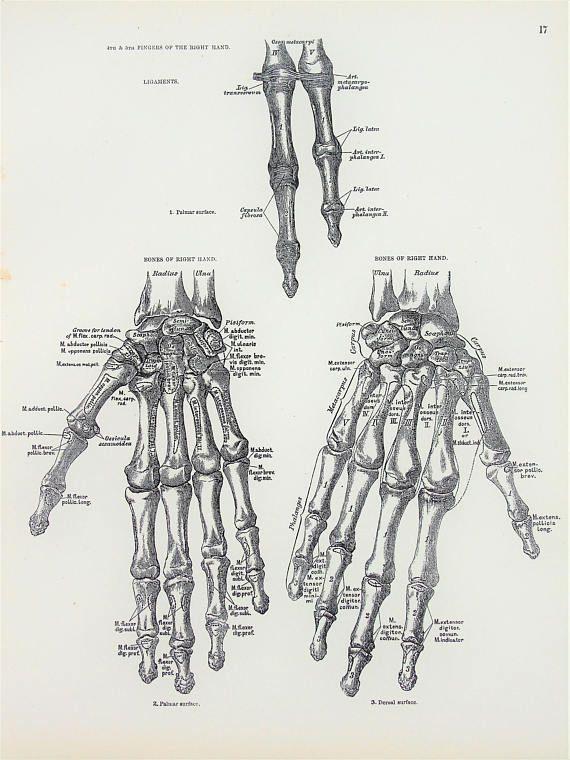 Human Hand Fingers Skeleton Bones 1880s Antique Anatomy Body Art
