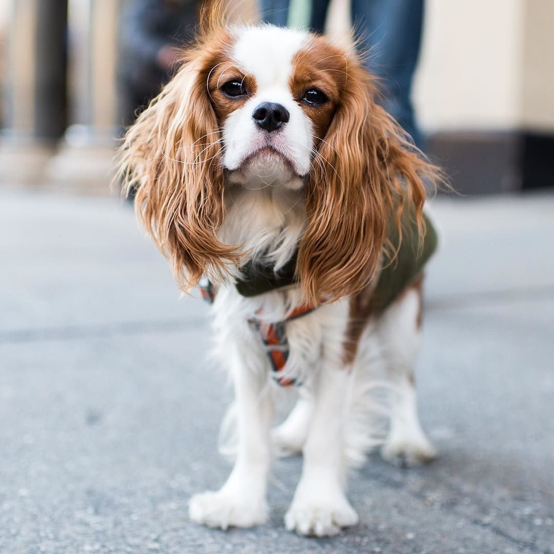 Wilson Cavalier King Charles Spaniel 6 M O 17th Union Square West New York Ny He S Lazy He Loves Cavalier King Charles Dog King Charles Dog King Spaniel