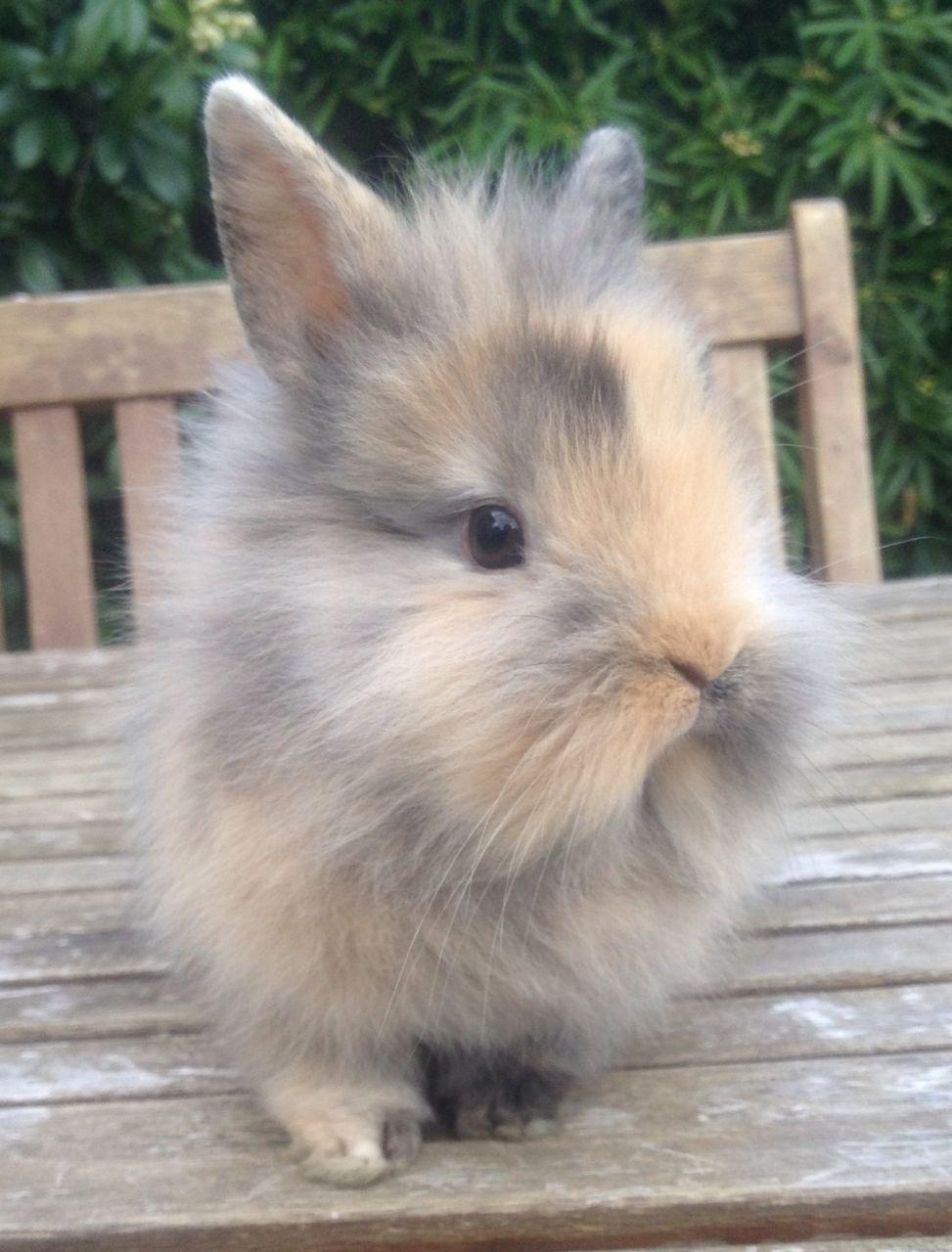 Baby Dwarf Lionhead Rabbits Sale : dwarf, lionhead, rabbits, Lionhead, Bunnies, Online