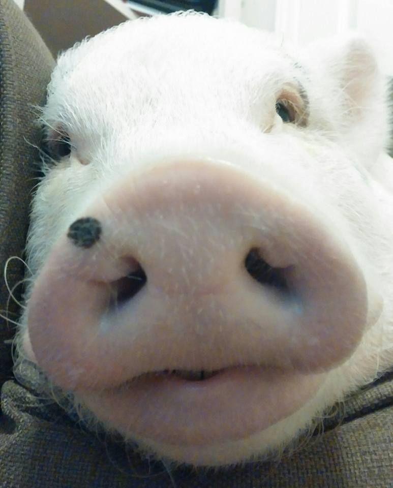 Oliver The Piggy