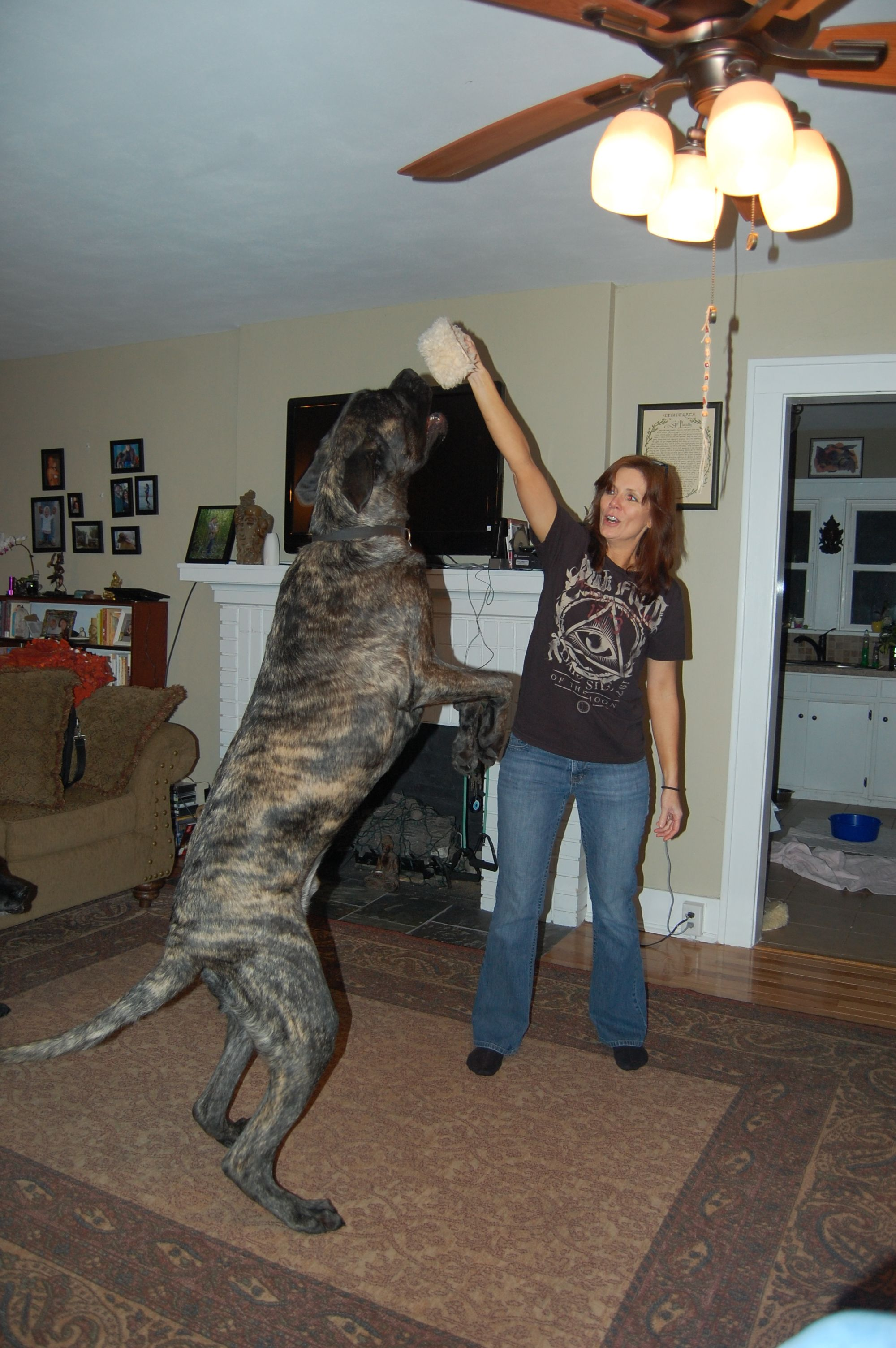 Viggo My English Mastiff Still Growing My Style