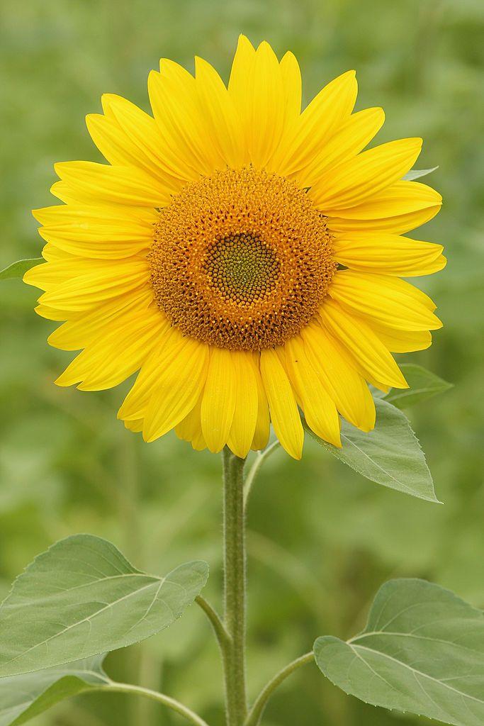 New Study Explains How And Why Sunflowers Follow Sun Movement Video Sunflower Sunflower Garden Single Flower