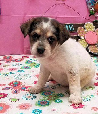 Danbury Ct Australian Shepherd Meet Jade A Dog For Adoption Kitten Adoption Dog Adoption Pets