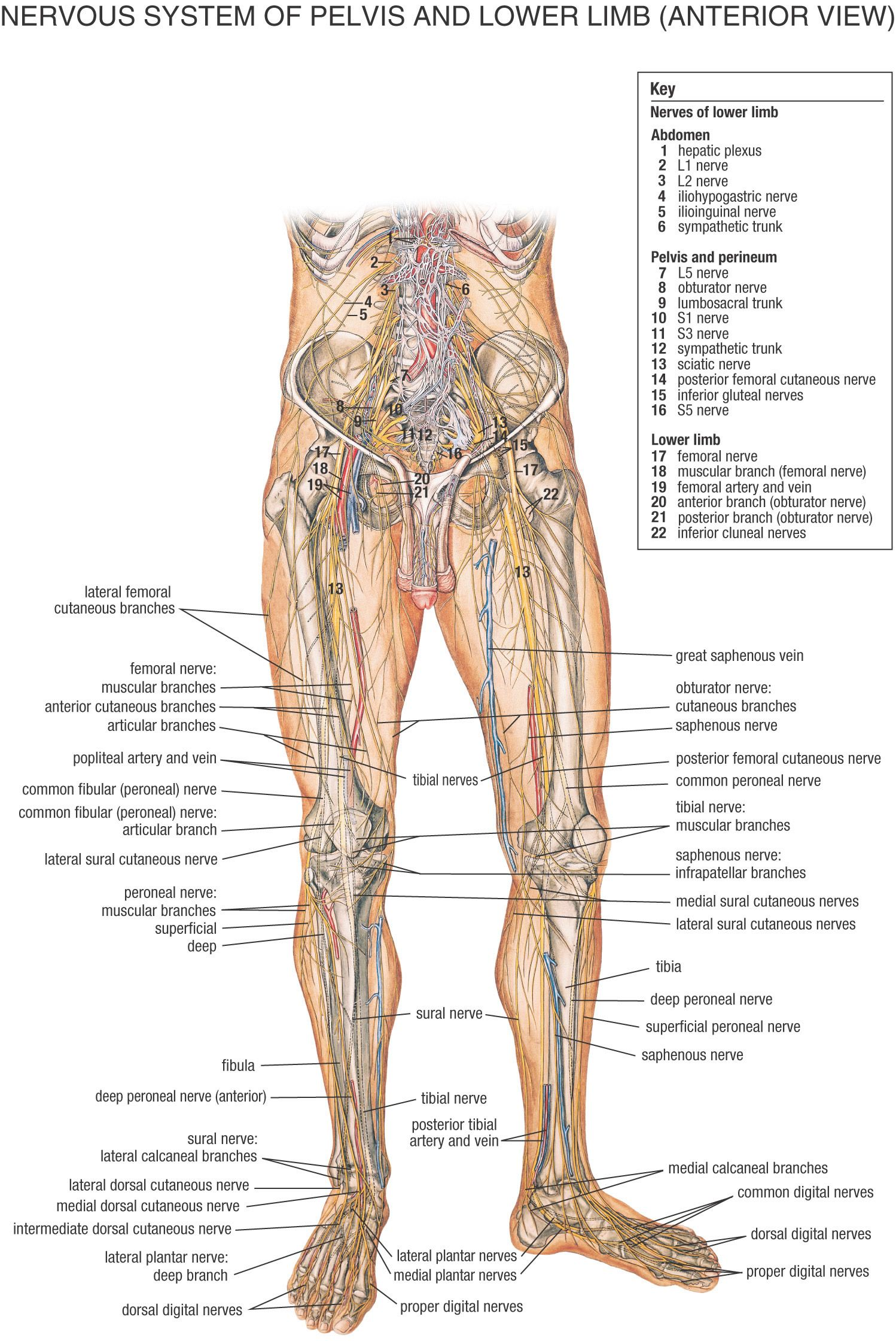 Fysiurgisk massr tag hnd om din krop anatomi pinterest nervous system of pelvis and lower limb anterior view anatomy robcynllc Choice Image
