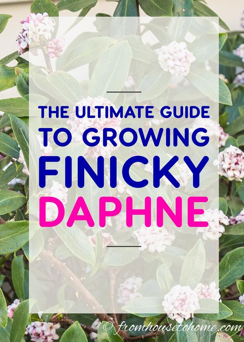 how to grow a daphne plant that will fill your garden with