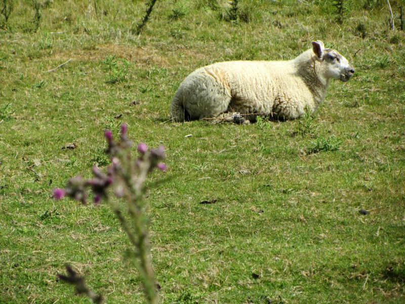 sheep at 1066 Battle of Hastings, Abbey, and Battlefield, England